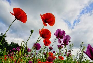 poppies-3409873__340