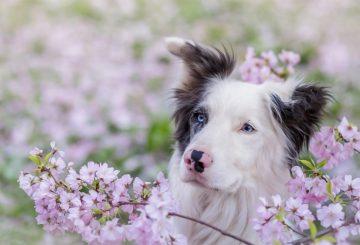 Blue-eyes-dog-pink-flowers-spring